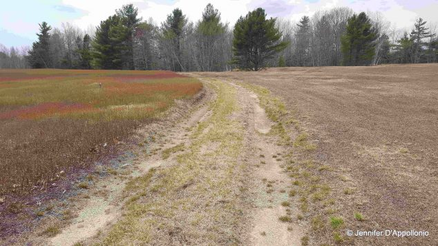 blueberry field with dirt road and a prune field on one side and crop field on the wither (showing the difference in height and color).