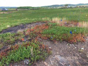 Bare spots in blueberry field