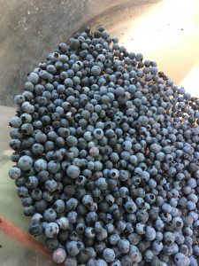 fresh blueberries in a metal bin