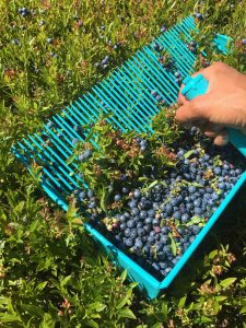 Blueberry Rake with berries