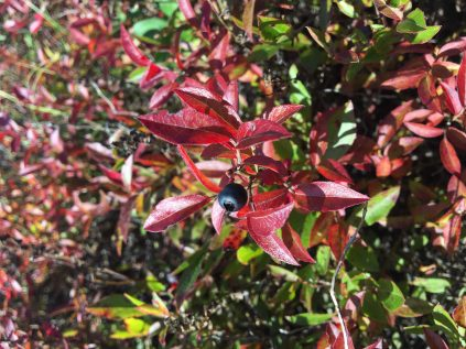 Blueberry on stem with red leaves midseason