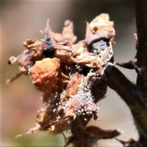 Botrytis cover blueberry plant with white spores (closeup)
