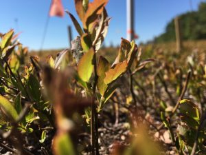 Close up image of wild blueberry stem and leaves