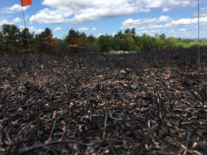 Close up picture of a freshly burned wild bluebery field