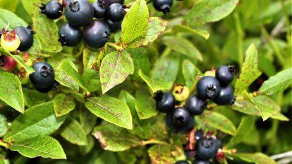 leaf spot on leaves with dark blue blueberries