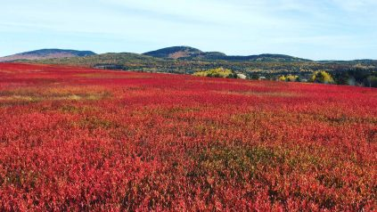 Red blueberry landscape with mountains in the background