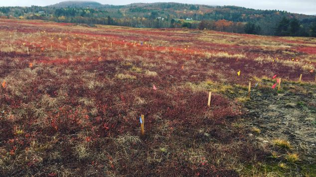 Weedy colorful blueberry field with reds and purples full of yellow grasses