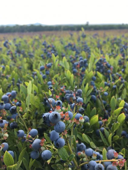 blueberries in the field, ready for harvest