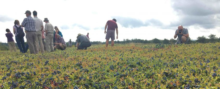 growers in a field loaded with berries and ready for harvest