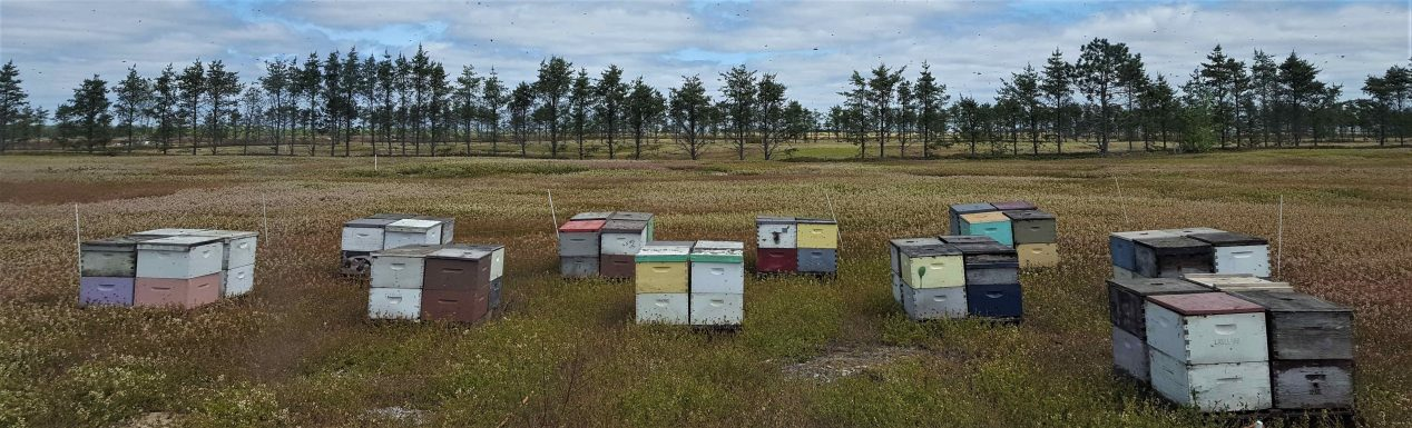coloful bee boxes in field for pollination with pinetree windbreaks in the background