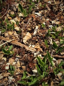 mulch in a blueberry field, supressing weeds