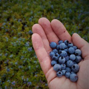 wild blueberries in hand