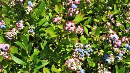 ripeneing wild blueberries on healthy green plants