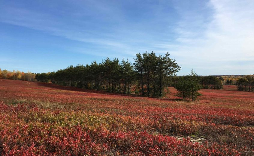 pine tree wind breaks in red blueberry field, cherryfield maine