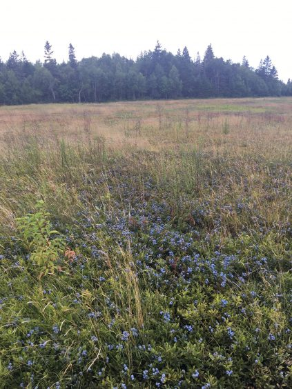 Grassy field with bright blue blueberry showing through and pinetrees in the background