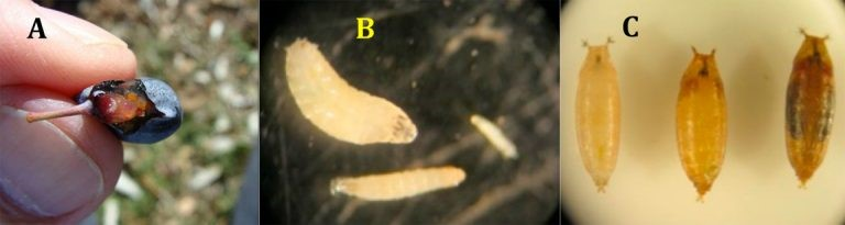 Spotted wing drosophila larval stages