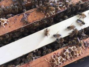Commercially managed bees crawling over a multiple screens