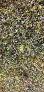 blueberries in crop field