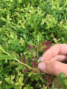 diseased blueberry leaf with powdery mildew on the underside