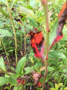 Close up blueberry stem with disease damage turing leaves brown amd red