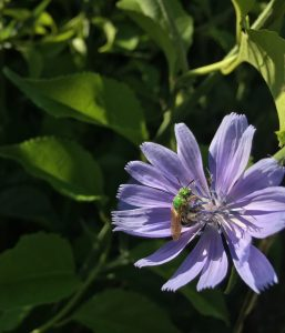 bright green bee pollinator on a purple aster