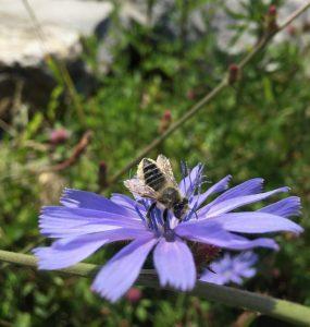 pollinator on a purple aster (close-up)