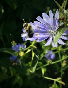 bumble bee flying away from a purple aster with pollen falling all around it (close-up, action shot)