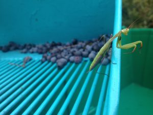 praying mantis on rake
