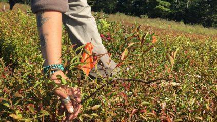 Wild blueberry ramet dislodged by tineweeding