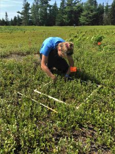 Graduate student in the field using quadrats to count wild blueberry ramets