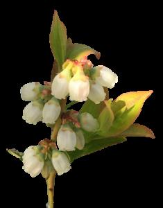 wild blueberry bloom, white petals