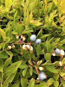 blue and green fruit on same stem