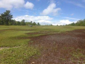 Flea beetle damade in a blueberry field