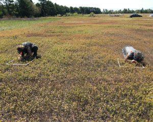 workers in a flowering blueberry barren