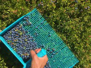 Raking berries by hand