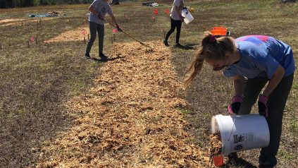 workers spreading mulch in a blueberry barren, wearing masks