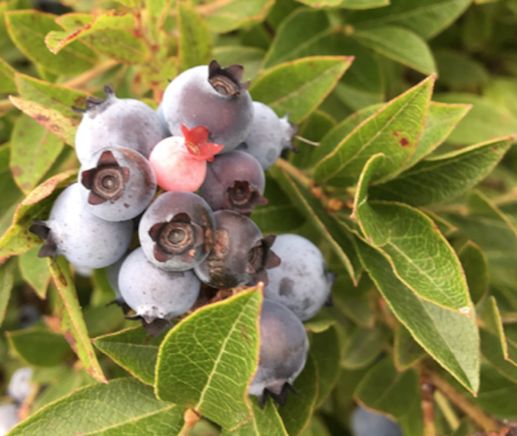 UMaine Wild Blueberry Conference Series   Cooperative Extension