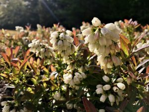 Wild blueberry in full bloom