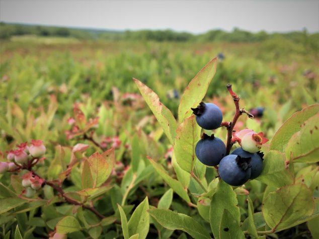 Blueberries ripening on stem