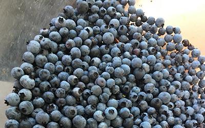 fresh blueberries in a metal bin