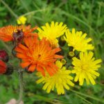 Photo showing some orange and yellow Hawkweed flowers in bloom