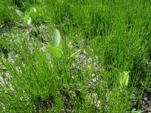 Photo of a patch of equisetum (horsetail) plants in a cranberry bed, with a few young milkweeds present as well.