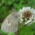 Photo of a single white clover flower, with a skipper butterfly resting on it and possibly drinking some nectar)