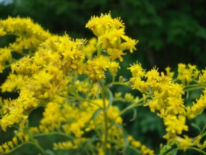 Photo showing the upper portion of a blooming goldenrod