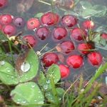 Maine cranberries floating in water along the edge of a bed during harvest