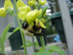 Closeup photo of a birdsfoot trefoil flower cluster, and a visiting bumblebee
