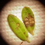 photo showing cranberry leaf damage (on two cranberry leaves) caused by Cranberry Weevil feeding