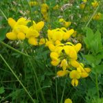 Photo of a small patch of birdsfoot trefoil stems and blossoms