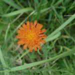A photo showing an example of Orange Hawkweed