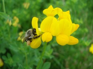 Photo of a single cluster or whorl of birdsfoot trefoil flowers, plus a visiting bumblebee collecting pollen